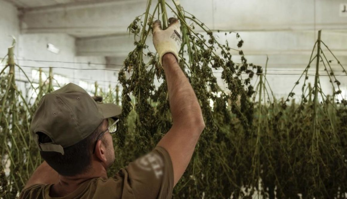 Employee hanging up Cannabis to dry.