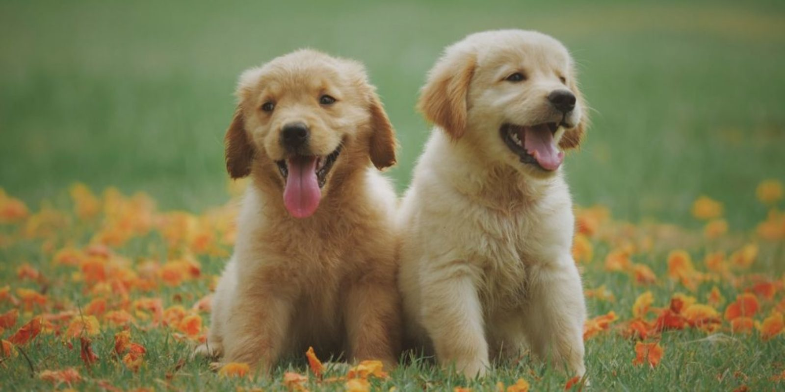Two puppies sitting together in the grass.
